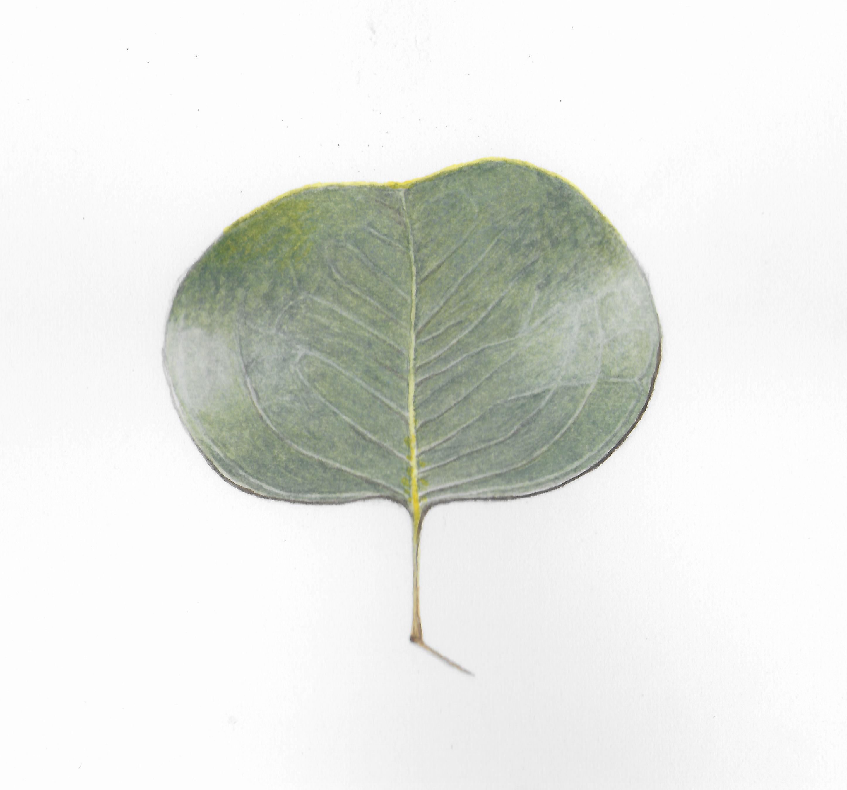 Eucalyptus - Watercolor