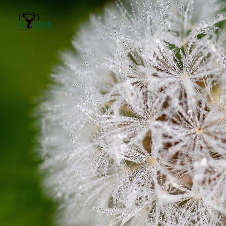 Dandelion clock -loving the macro photography