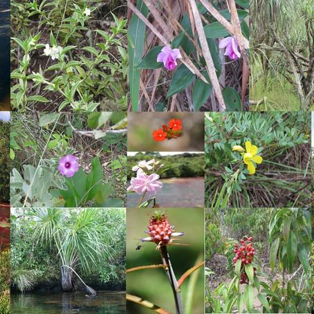 Vegetación y Flora en PNN Sierra de La Macarena; Caño Cristales.