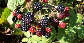 The magic of blackberry by Sue Perryman