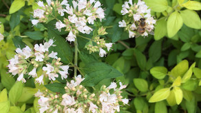 Magical Marjoram - by Ness