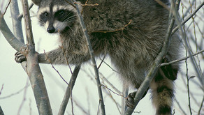Raccoon: The Masked Bandit by Starlite