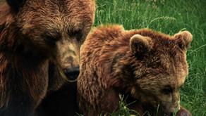 Spirit Animal - The Bear - by Sue Perryman