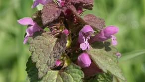 Purple Deadnettle Salve by Gypsy