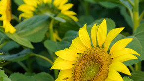 Sunflowers by Sue Perryman