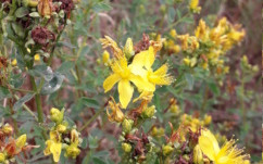 St. John's Wort Oil by Heather