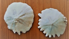 The magic of sand dollars by Sue Perryman