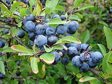 Sloes by Vanessa Armstrong
