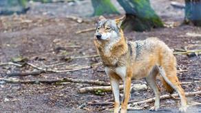 Wolf as Spirit Animal, Totem, Dream Interpretations by StormloverWolf