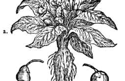 Magical Mandrake by Ness