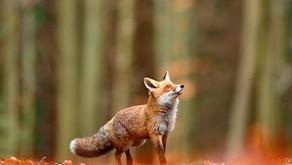 Fox by Sue Perryman
