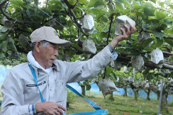 梨の収穫風景