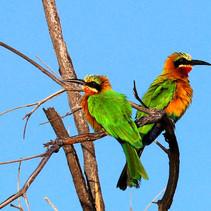 Vögel_Botswana.jpg