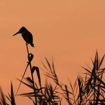 Eisvogel Botswana.jpg
