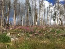 Der Harz als Klimaschutz - Kampf gegen den Borkenkäfer