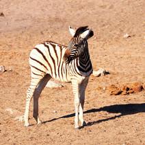 Zebrajunges.jpg
