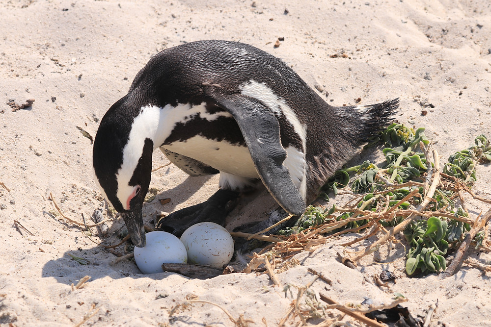 Pinguin Südafrika