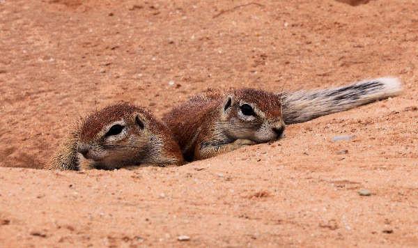 Erdhörnchen Namibia
