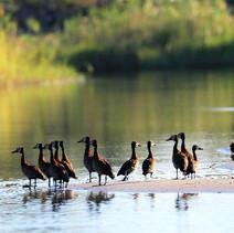Witwenenten-Botswana.jpg