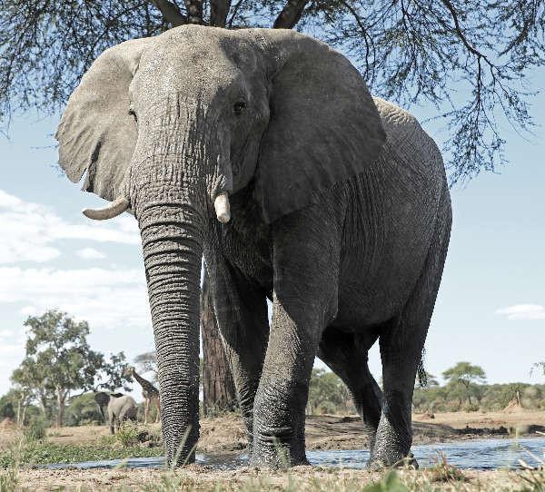 Elefant im Senyaticamp