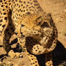 Gepard.jpg