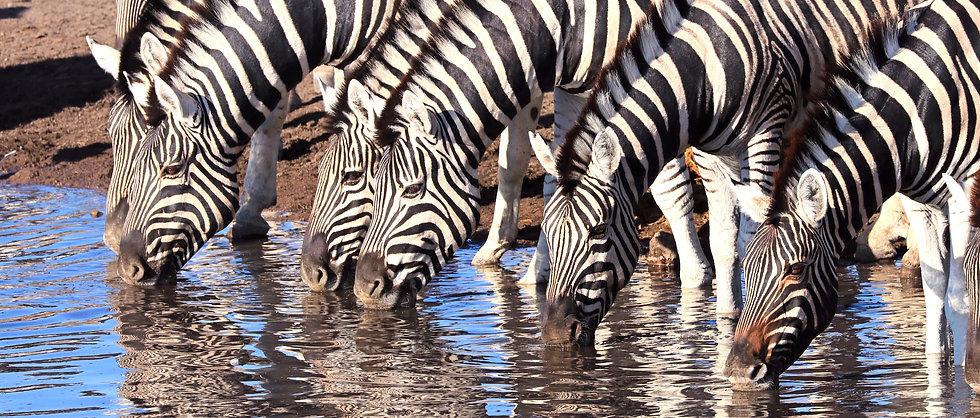 Zebras%2520am%2520Wasser_edited_edited.j