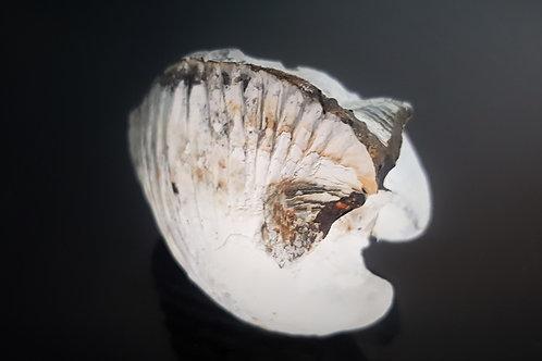 Fossil Clam Shell - Crimea Ukraine