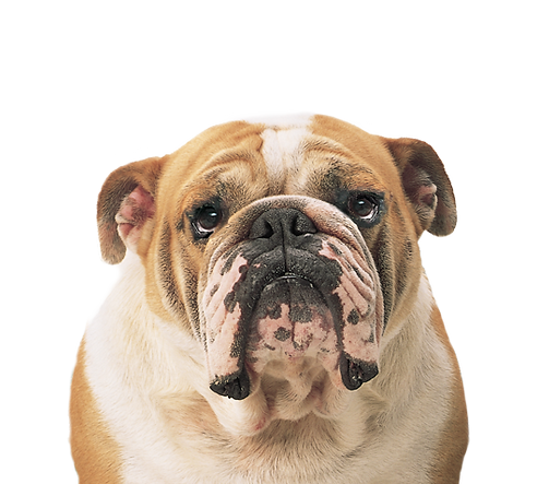 dog_PNG50325.png