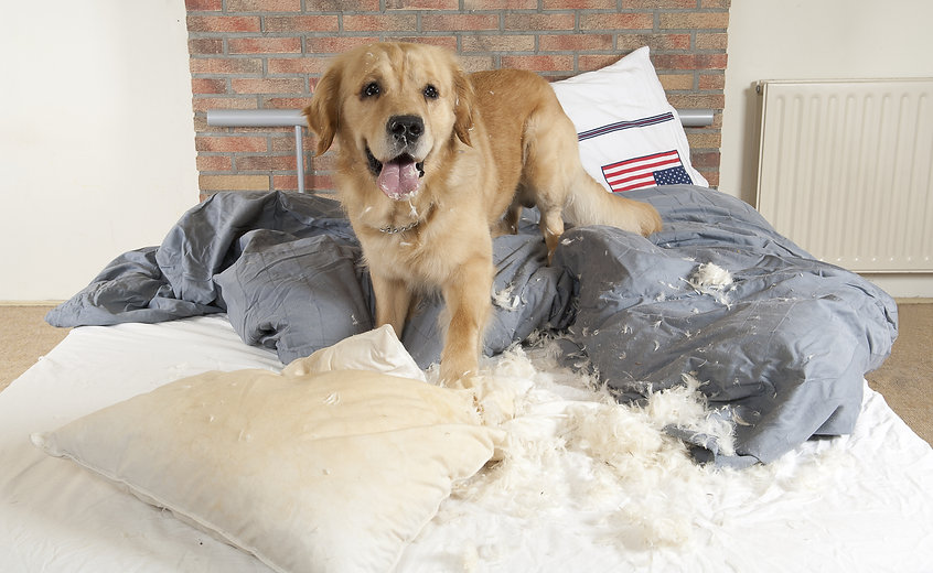 Golden retriever dog demolishes pillow on a bed in the bedroom.jpg