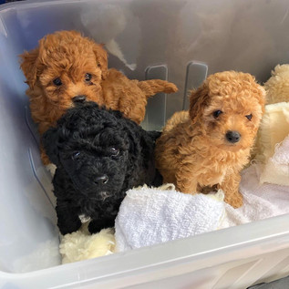 Poodle Puppies!