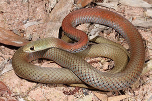 Yellow-faced-Whip-Snake-011.jpg