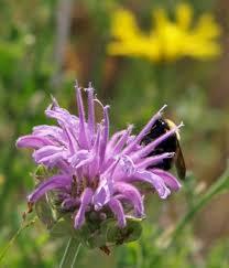 Wild Bergamot (Bee Balm)