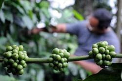 Brazilya Kahvesi