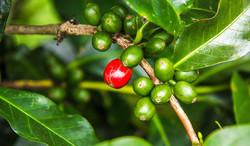 Panama Kahve Orijini