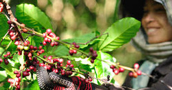 Kosta Rika Kahve Orijini