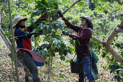 Tayland Kahve Orijin