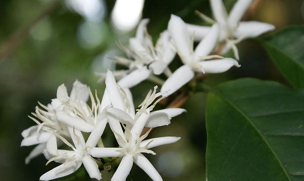 Kahve Çiçeği
