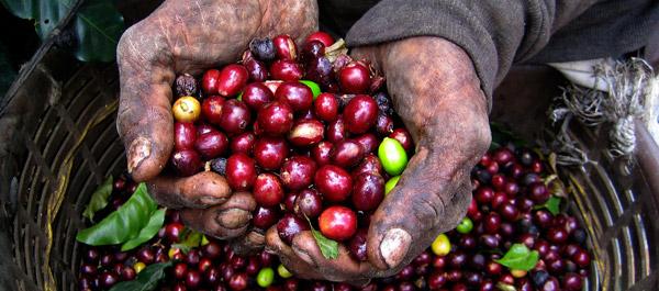 Tanzanya Kahve Orijin