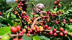 Kenya Kahve Orijini