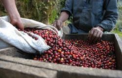 Guatemala Kahve Orijini