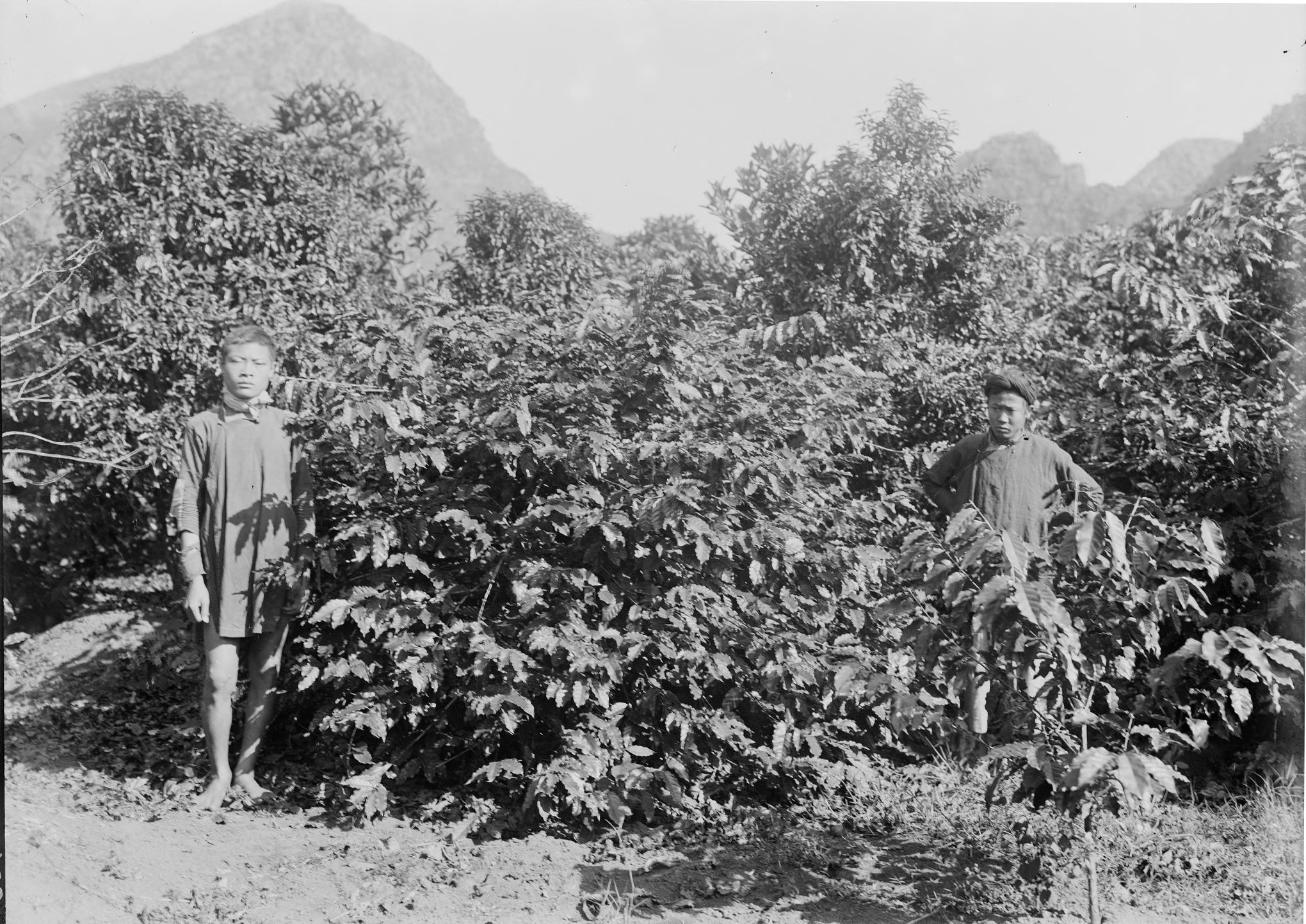 Haiti Kahve Orijini