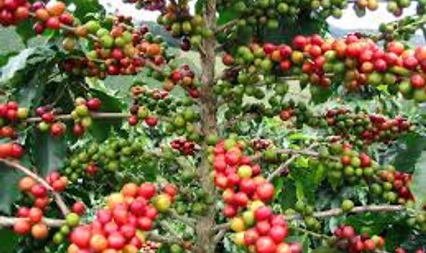 Kahve Meyvesi Kirazı