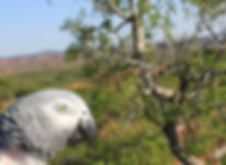 African Grey Parrot enjoys the green summer landscape of caprock canyons state park