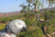 african grey parrot in west texas mesquite