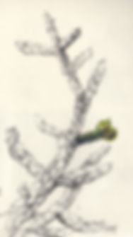 cholla cactus branch logo lindy cook severns art