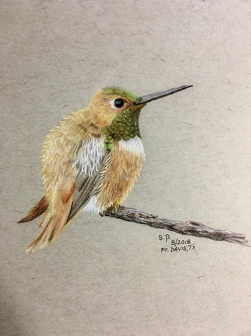 hummingbird with fluffed feathers colored pencil drawing