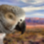 African Grey Parrot in front of a desert landscape painting