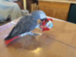 African Grey parrot with shipping tape on a fine art shipping box at Old Spanish Trail Studio