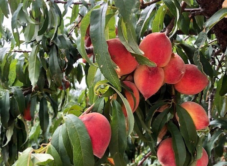 When Life Hands You Peaches...