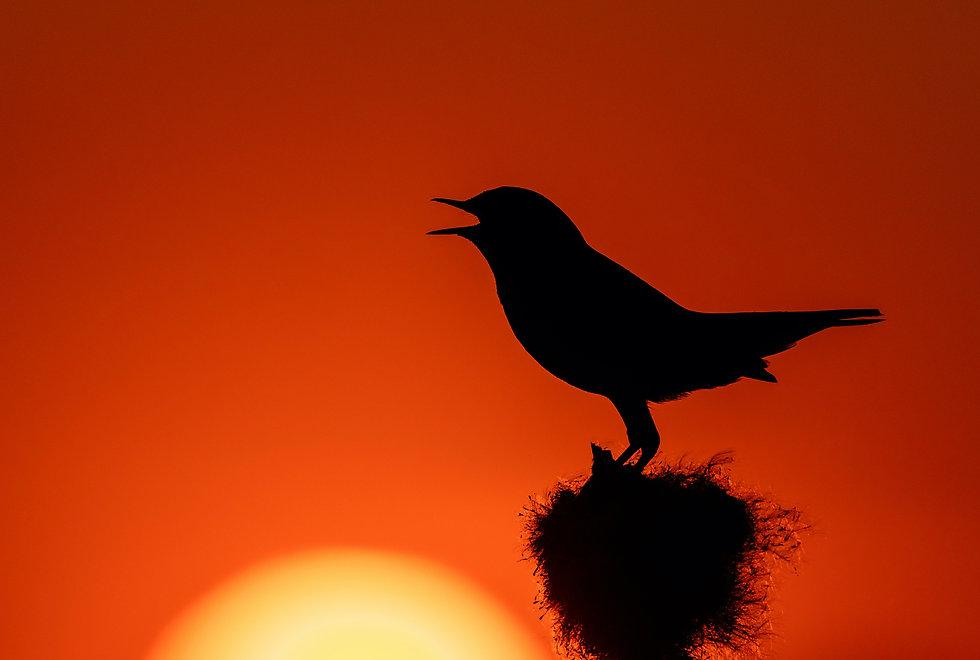 songbird2.jpg